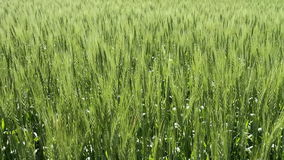 Grain crop in the early summer stock footage