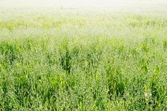 Grain Crops. Grain yield sunlit at the endless field Royalty Free Stock Photography
