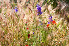 Grain crops and flower field royalty free stock images