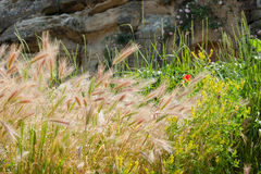 Grain crops and flowers Royalty Free Stock Image