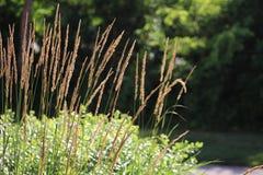 Grain dérivant dans le vent Photo libre de droits