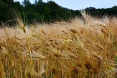 Grain d'or sec et prêt pour la récolte Photos libres de droits