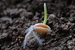 Grain de blé Photos libres de droits