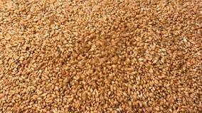 Grain de blé banque de vidéos