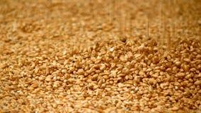 Grain de blé clips vidéos