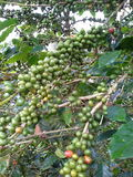 Grain de café Photos libres de droits