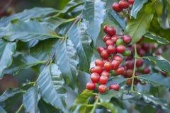 Grain de café avec le caféier Photographie stock libre de droits