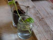 Grain de café et feuille verte Image libre de droits