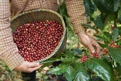 Grain de café frais Photo stock