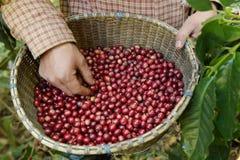 Grain de café frais Images libres de droits