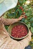 Grain de café frais Photo libre de droits