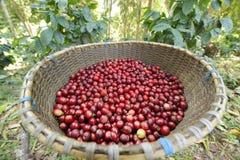 Grain de café frais Photographie stock