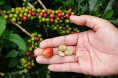 Grain de café frais de cerise de café Image libre de droits