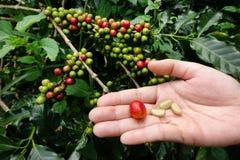 Grain de café frais de cerise de café Images stock