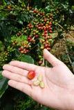 Grain de café frais de cerise de café Photos stock
