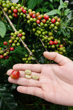 Grain de café frais de cerise de café Image stock
