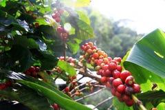 Grain de café sur le fond brun Photos libres de droits