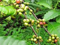 Grain de café sur le fond brun Image libre de droits