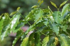 Grain de café sur le fond brun Image stock