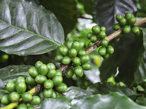Grain de café vert, caféier avec des haricots images libres de droits