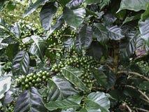 Grain de café vert, caféier avec des haricots photo libre de droits