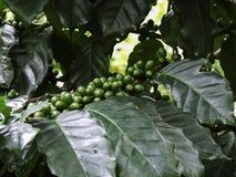 Grain de café vert, caféier avec des haricots photos libres de droits