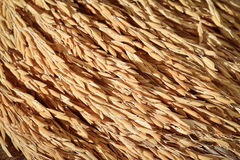 Grain de riz de jasmin de paddy sur le fond en bois Photographie stock libre de droits