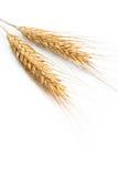 Grain ears Royalty Free Stock Photography
