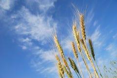 Grain ears. On blue sky background Stock Photos
