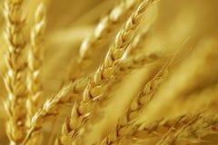 Grain ears Royalty Free Stock Photos