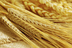 Grain ears Royalty Free Stock Images