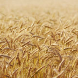 Grain ears Stock Photo