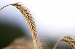 Grain ears. Mature ears of wheat, have bent to the ground Royalty Free Stock Images