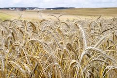 Grain ears. Mature ears of wheat, have bent to the ground Stock Images