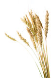Grain ears Royalty Free Stock Photography