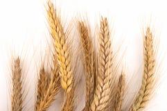 Grain ears Stock Photo
