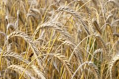 Grain ears Royalty Free Stock Image
