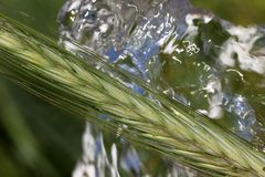 Ripening rye ear on the background of crystal clear water flow. Grain ears on the background of clean water stock photo