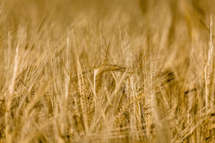 Grain. Ears of Barley in detail with blurred background Royalty Free Stock Image