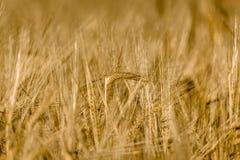 Grain Royalty Free Stock Image