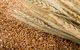 Grain and ears of corn of wheat Royalty Free Stock Photography