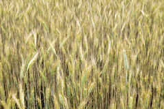 Grain ears Stock Images