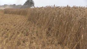 Grain and farm combine thresh grain in background crowd stork stock footage