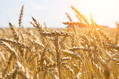 Grain in a farm field and sun Stock Images