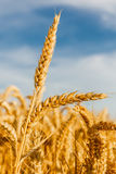 Grain in a farm field Royalty Free Stock Photos