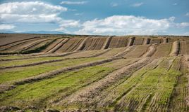Grain feilds. Rows of grain fields in Scotland. Barley cut on it`s way to distilleries to make whisky in Spey side. Spey Scotland Stock Image