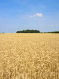 Grain field 11 Royalty Free Stock Images