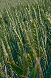 Grain-field Royalty Free Stock Image