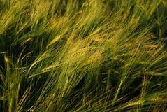 Grain field. Close up of a grain field Stock Photos