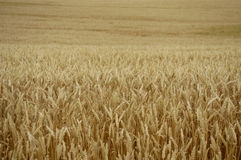 Free Grain Field Royalty Free Stock Photography - 1318987